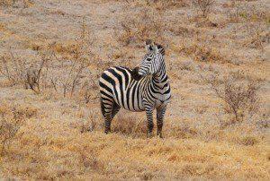 voyage de noce sur mesure en tanzanie parc Ngorongoro