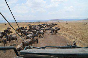 Troupeau de Gnous à la grande migration. voyage de noce sur mesure en tanzanie